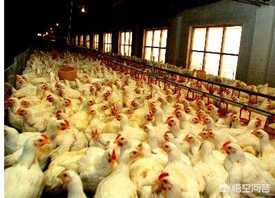 现在有很多农村人回乡创业,搞速成鸭养殖,这种鸭子人吃了以后会有什么样的危害?