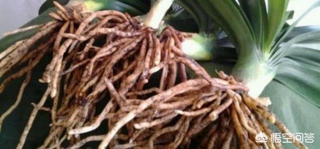 发财树脱盆后发现根系挺好的,叶子都落光了该怎么办?