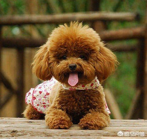哪款小型犬比较好养?仙境传说ro怎么合成宠物?
