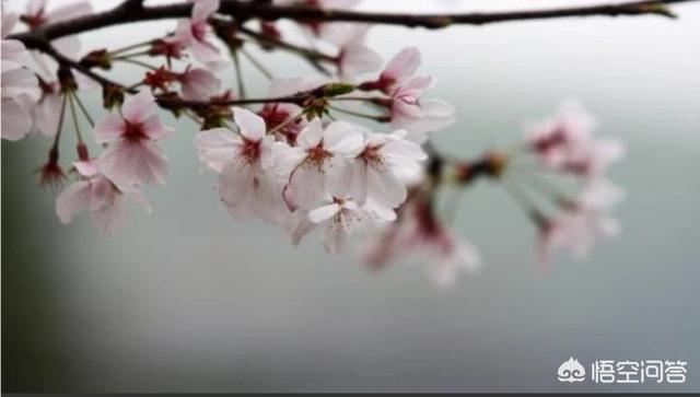 武大樱花图片,武汉大学樱花一般什么时候开?