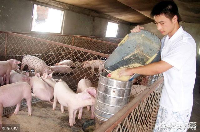 如何养牛创业?想在山里养牛,野猪会对其有什么样的影响,却是亦然?