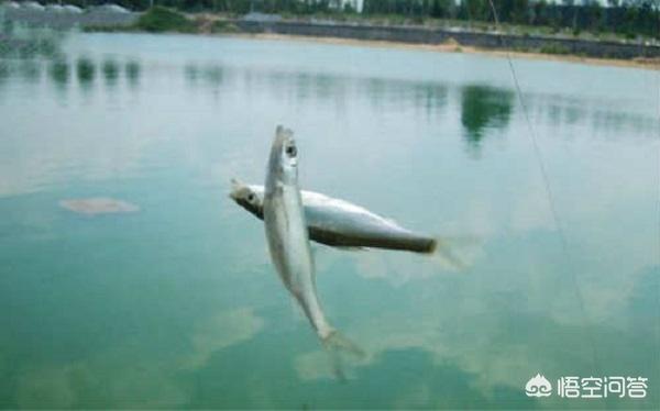 广东有哪些主要淡水鱼?(图9)