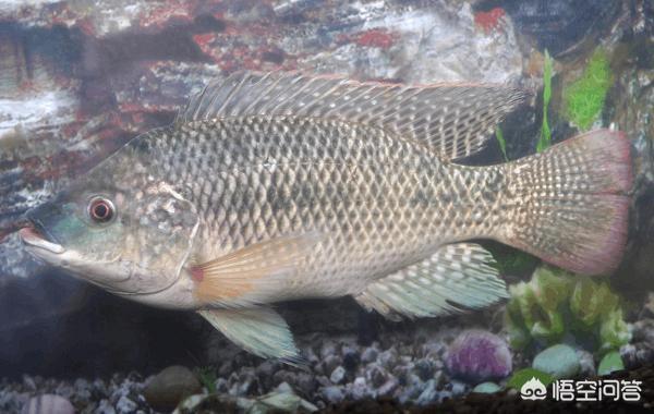 广东有哪些主要淡水鱼?(图1)
