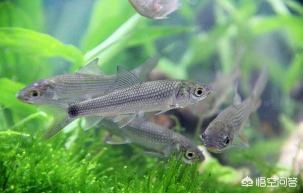 广东有哪些主要淡水鱼?(图10)