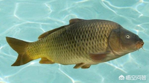 广东有哪些主要淡水鱼?(图6)