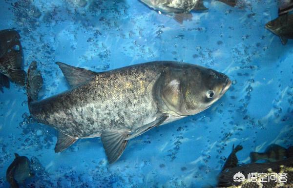 广东有哪些主要淡水鱼?(图5)