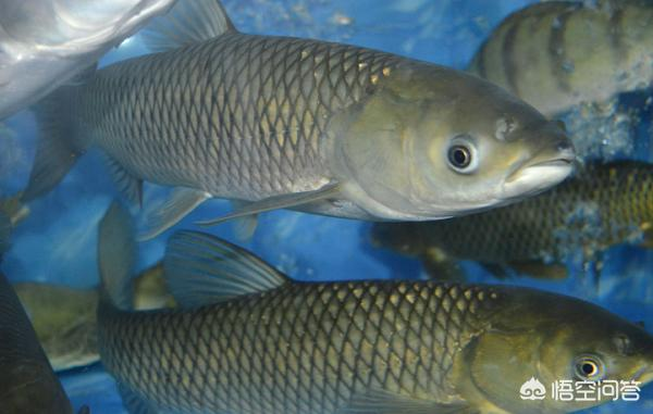 广东有哪些主要淡水鱼?(图2)
