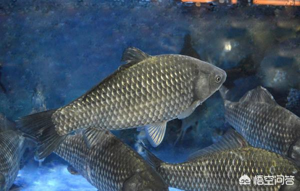 广东有哪些主要淡水鱼?(图7)