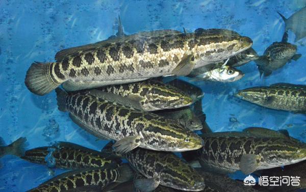 广东有哪些主要淡水鱼?(图8)