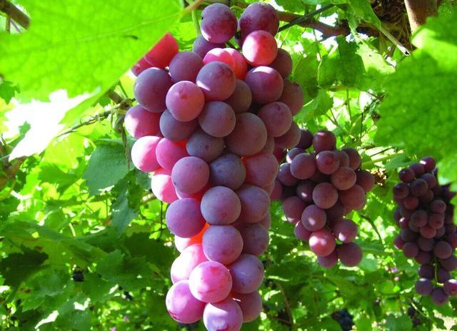 葡萄的栽培技术(葡萄的栽培技术葡萄种植的方法)