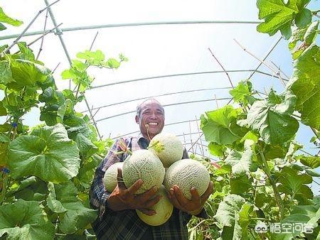 甜瓜用什么占木好、香瓜嫁接用什么砧木好、嫁接甜瓜用什么砧木