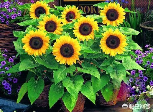教师节礼物向日葵盆栽,向日葵可以盆栽吗?怎么养?