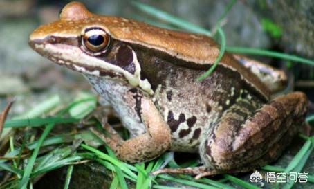 青蛙养殖技术视频,养殖青蛙需要掌握什么技术?
