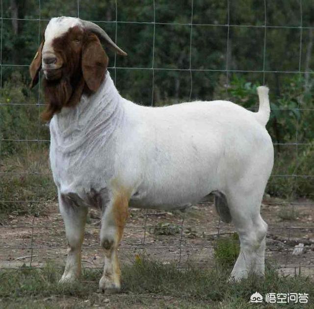 养肉羊选什么品种?有最好的肉羊品种推荐吗?
