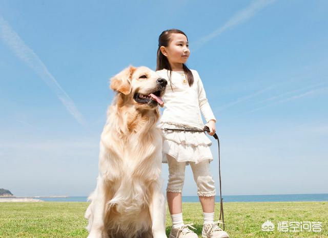 枫叶系金毛犬:血统纯正的金毛和普通的金