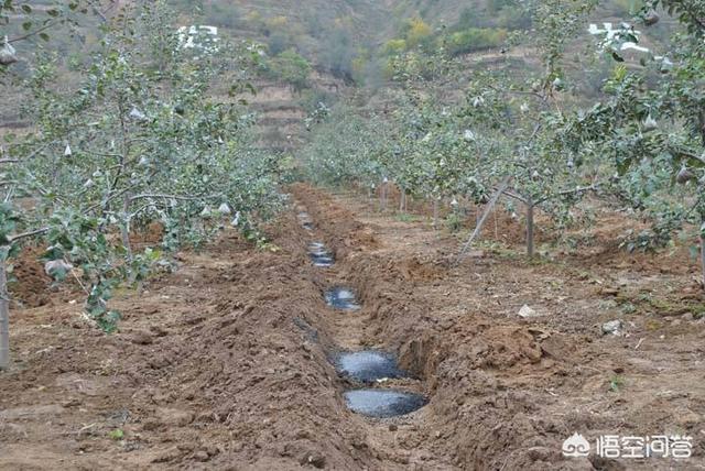 苹果采收以后该怎样管理?
