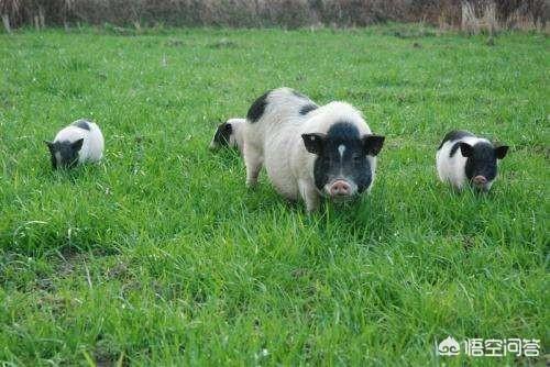 在山脚下养鸡,用甚么方法能够将猪养得更快呢?2020年在农村有甚么项目可以做呢,例如养殖业、种植?