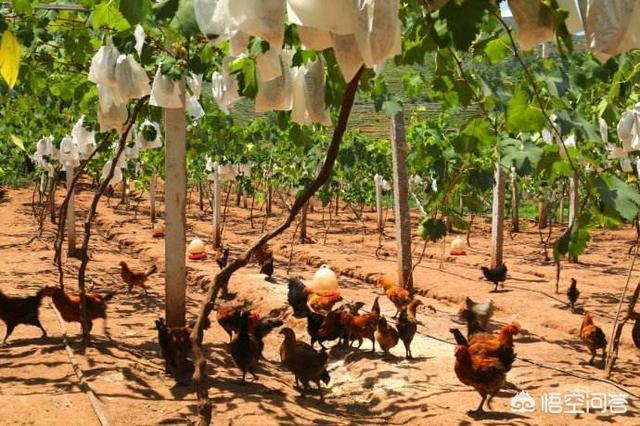 想在蓝莓果树里散养牛,这个想法可取吗?有哪些特别注意事项?国家是否法律规定不让农村养猪?