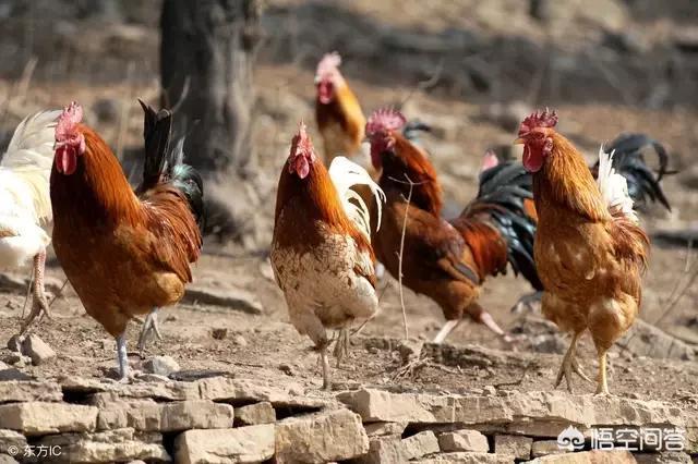 为什么有人说农民散养的鸡鸭容易得瘟疫?(图2)