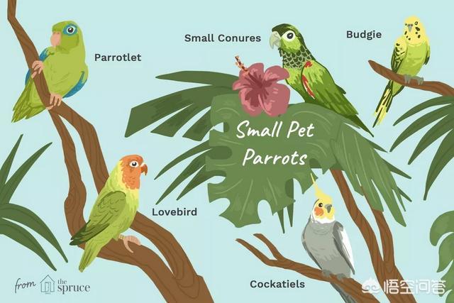 鹦鹉圣诞节礼物,市场上有哪些鹦鹉可以购买家养?