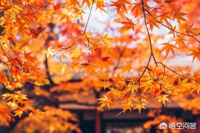有人大力推广樒树种植,樒树究竟何物?生长条件?有何价值?