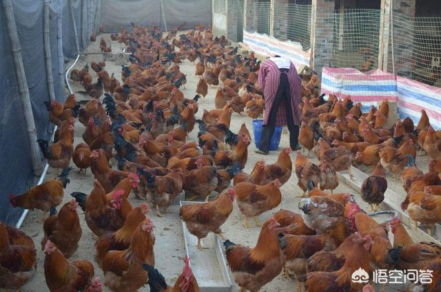 在农村养蜂虎鸡须要多少资金,须要注意些什么?养殖虾的文末?