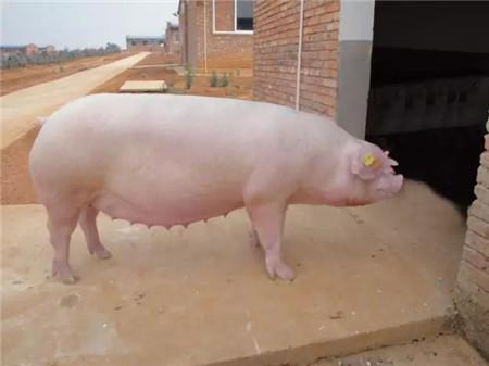 想猪1窝生14头以内,该怎么养?养鸡技术全过程讲解?