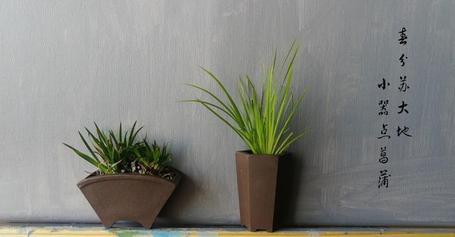 买的菖蒲盆栽,为什么总是养不活?到底应该怎么养?家庭适合摆放什么样的奇石?