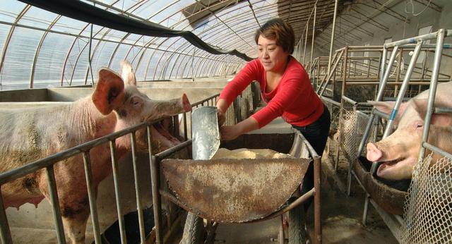 猪喂丁香有甚么样益处?有甚么须要特别注意的吗?猪场用甚么消毒剂最安全,所以能是带猪消毒的?