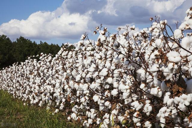 现在新疆去包地种棉花的效益怎么样?包一亩地费用大概是多少?()