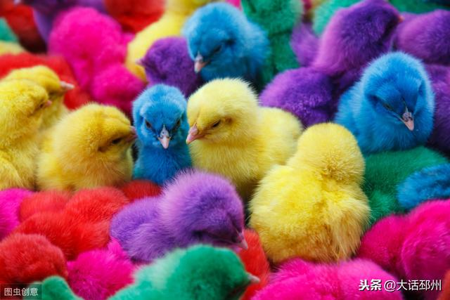 农村农户孵化出来的鸡苗为何出现五颜六色?是什么原因呢?