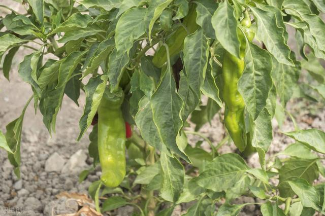辣椒,番茄,茄子得了白粉病如何治疗?很严重了?(番茄茄子青枯病怎么治)
