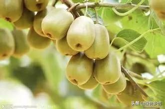 冬季桃树修剪最佳时间  弥猴桃冬季修剪的最佳时