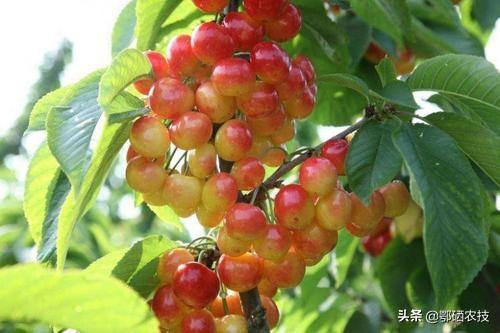 30克以上的樱桃品种有么?