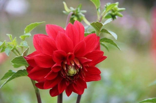 在家种大丽花,如何繁殖好呢?