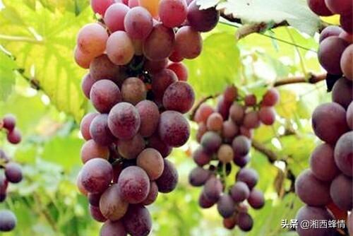 葡萄的栽培技术(葡萄苗的种植方法和技术)