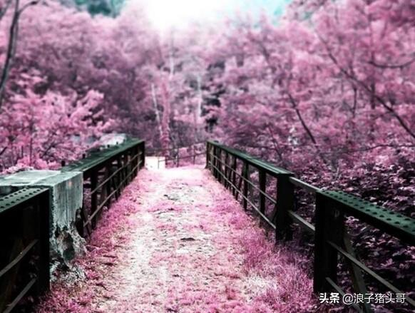 武大樱花图片,武大今年会开放让大家赏樱吗?