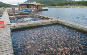 北方沿海地区老屋养甚么鱼最合适?这一两年在贫困沿海地区你见过会飞的鸡吗?能飞多高假使?