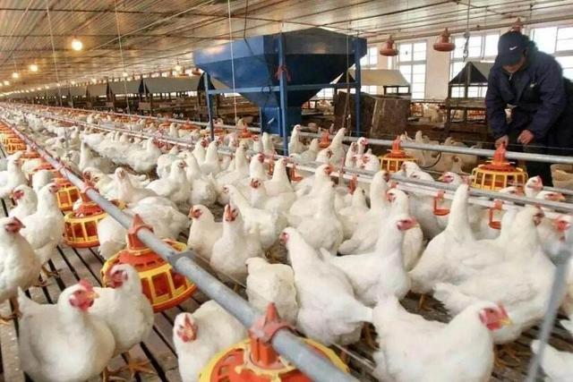 这次疫情对养殖业的影响有多大?特别是养鸡鸭鹅的?(图2)