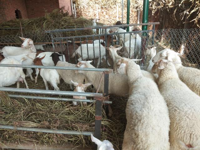 什么羊的品种最好,想在四川搞养殖,萨能黑山羊好吗?