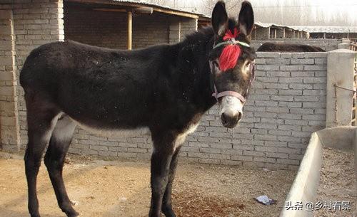 一只驴能卖到上万多块,为何在一些贫困地区很少有人养驴?养殖业鸡需要注意什么?(图6)