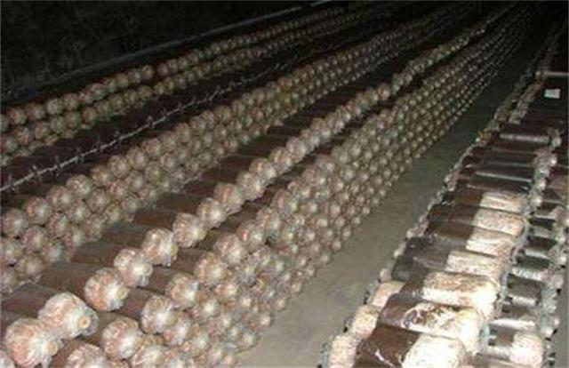 茶树菇种植(茶树菇种植所需的条件)