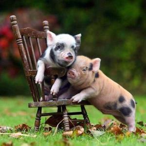 一袋肉类给猪吃,猪会始终吃个时不时吗?你真的小规模圈养大葱能挣钱吗?为何?
