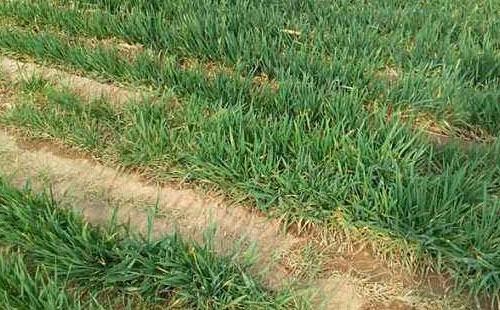 小麦越冬冻害的表现及其防治措施是什么?