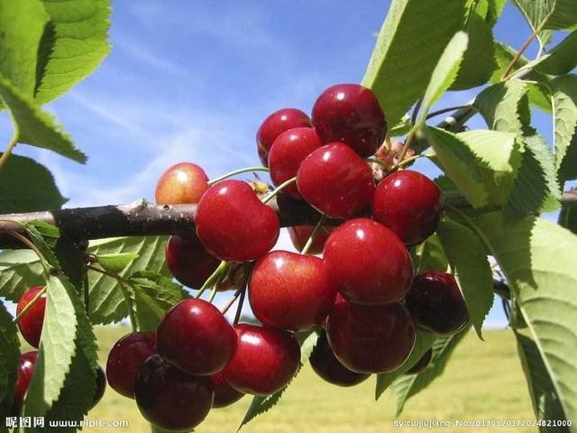什么品种的樱桃好吃,哪里能买到那样品种的樱桃?