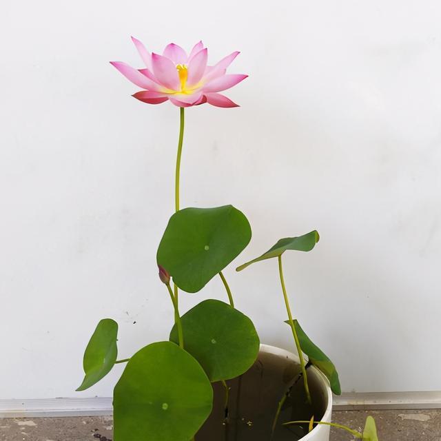 最小碗莲品种排名?