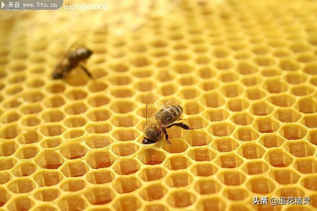 自造:为什么意蜂爱造雄蜂脾?