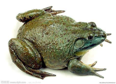 美国牛蛙的蝌蚪一般吃什么呀?