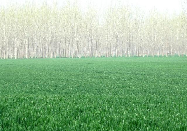 尿素雨天撒施的效果  给小麦撒尿素过一夜才下雨