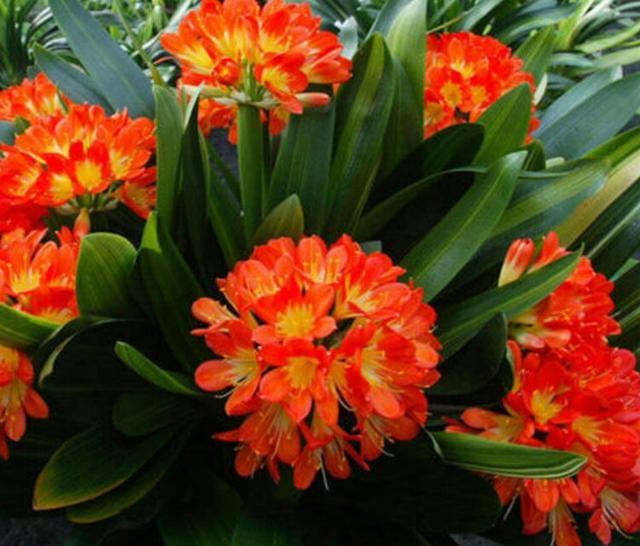 君子兰什么季节开花,君子兰开花会开多长时间?